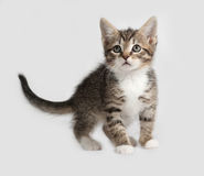 Striped and white kitten standing on gray Stock Images