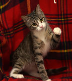 Striped with white shorthair cat Royalty Free Stock Photography