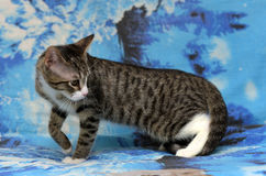 Striped white young cat Stock Image