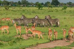 Striped Wild African Zebras and Impalas. Impala and Black and White Striped Wild African Zebras walking in the Mikumi National Park, Tanzania stock images