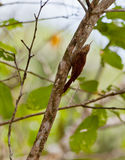 Striped Woodcreeper Stock Images