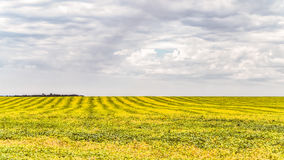 Striped yellow green field of ripe soybeans. Hilly farmland. Royalty Free Stock Photography