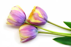 Striped yellow and mauve tulips Stock Image