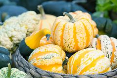 Striped yellow pumpkins basket. Halloween thanksgiving day background. Organic vegetables harvest still life. Selective Stock Image
