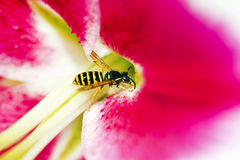 Striped yellow wasp. Striped yellow wasp eat pollen lilies in the summer royalty free stock photos