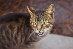 Striped young cat meows and expresses its irritation_ stock photos