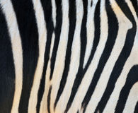 Striped Zebra Stock Image