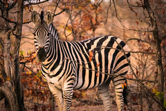 African zebra. A lonely striped zebra in the bush at sunset Royalty Free Stock Photos