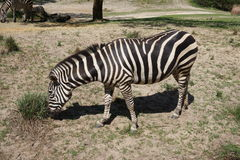 Striped zebra is eating grass Stock Images