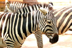Striped zebra (Equus quagga). A plains zebra (Equus quagga) with his typical black and white striped pattern royalty free stock images