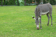 Striped zebra Stock Image