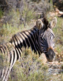 Striped Zebra Stock Photo