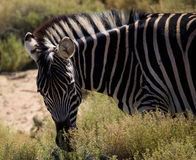 Striped Zebra Royalty Free Stock Image