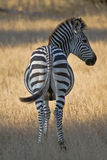 Striped: Zebra from the Rear Stock Image