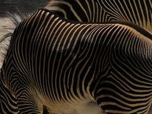 Striped Zebra Standing in zoo in Augsburg. royalty free stock photo