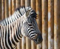 Striped zebra in a zoo. Stock Photos