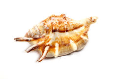Stripedc Sea Shell Royalty Free Stock Photo