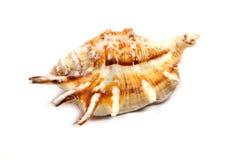 Stripedc Sea Shell Royalty Free Stock Photo