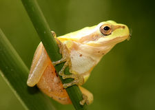 Stripeless Tree Frog with Fly in Mouth. Stripeless Tree Frog on a grass stem with fly in mouth Royalty Free Stock Images