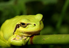 Stripeless Tree Frog on a Grass Stem. Bright green Stripeless Tree Frog on a grass stem Royalty Free Stock Images