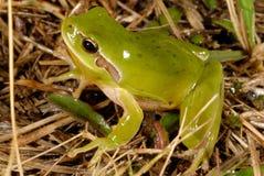Stripeless treefrog雨蛙meridionalis在Valliguieres,法国 库存照片