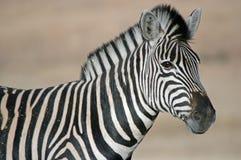 stripes зебра Стоковые Фотографии RF