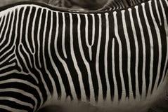 stripes зебра Стоковые Фото