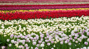 Stripes of colorful fields with tulips Royalty Free Stock Photo