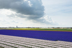 Stripes of the colorful hyacinth fields in the Netherlands Stock Photo