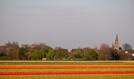 Stripes of colour: brightly coloured tulips reflect the evening light in a flower field near Lisse, Netherlands. Brightly coloured tulips reflect the evening royalty free stock image