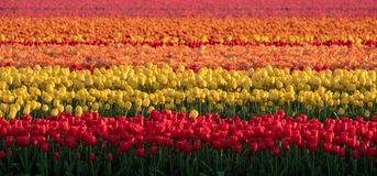 Stripes of colour: brightly coloured tulips reflect the evening light in a flower field near Lisse, Netherlands. royalty free stock photography
