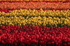 Stripes of colour: brightly coloured tulips reflect the evening light in a flower field near Lisse, Netherlands. stock photo