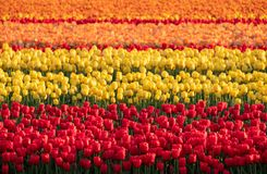 Stripes of colour: brightly coloured tulips reflect the evening light in a flower field near Lisse, Netherlands. Brightly coloured tulips reflect the evening royalty free stock photo