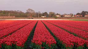 Stripes of colour: brightly coloured tulips reflect the evening light in a flower field near Lisse, Netherlands. stock image