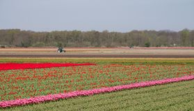 Stripes of colour: colourful pink and red tulips growing in rows in a flower field near Lisse, Netherlands. stock photography