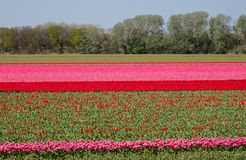 Stripes of colour: colourful pink and red tulips growing in rows in a flower field near Lisse, Netherlands. stock photo