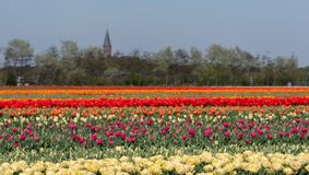 Stripes of colour: colourful tulips growing in rows in a flower field near Lisse, Netherlands. royalty free stock images