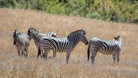 Stripes in the Family Royalty Free Stock Photo