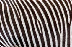 The stripes of real zebra. Stock Photography