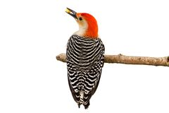 Stripes of a Red-bellied Woodpecker stock images