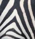Stripes on the skin of a zebra Stock Images
