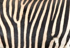 Stripes on the skin of a zebra Stock Photography