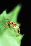 Stripes spider on green leaf. Stripes spider standing on the green leaf with black background isolation Stock Photography