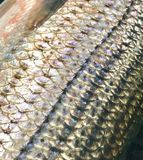 Striped bass. Stripes on a Striper with scales Royalty Free Stock Image