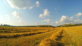 Stripes Of Stubble Hay Lying On Yellow Field stock video footage