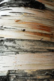 Stripes on tree bark Royalty Free Stock Photo