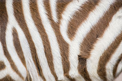 Stripes of a young zebra Royalty Free Stock Photos
