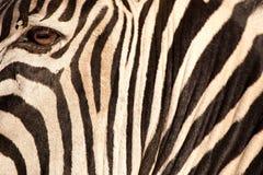 Stripes (Zebra). Black & White portrait of a Zebra Royalty Free Stock Photos