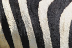 Stripes of zebra Stock Photo