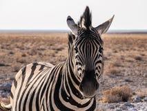 Stripes. Zebra in the Etosha National Park, Namibia Stock Image